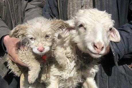 گوسفند توله سگ زایید