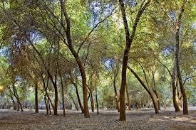 جنگل های دز ، طبیعتی بکر در دزفول