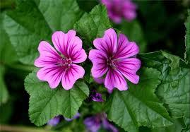 این گل ، برای سرماخوردگی