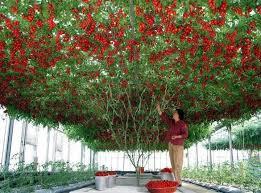 گوجه فرنگی بوته ای ، به درختی تبدیل شد